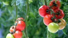 Alcune piante emettono 'grida' tramite ultrasuoni se stressate