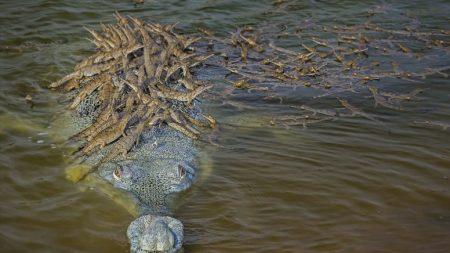 La meravigliosa foto di un coccodrillo che porta sulla schiena decine di piccoli