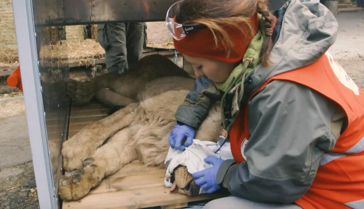 Il leone mentre viene curato